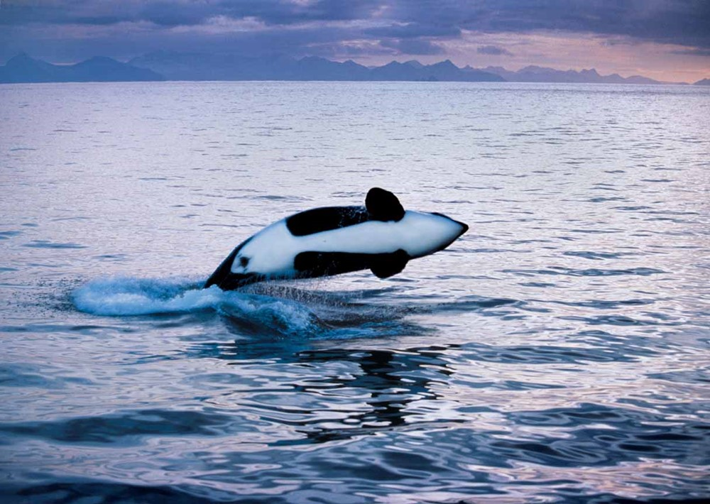 Orca Safari - Strømsholmen Seasportcenter - Fishing - Diving